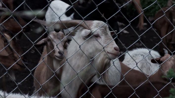 ¿Qué sueñan las cabras?