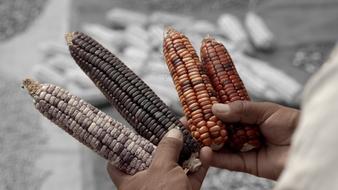 El maíz en tiempos de guerra