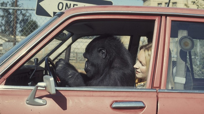 Koko: the gorilla who talks to people